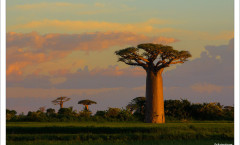 Baobabs-Morondava-1024x699