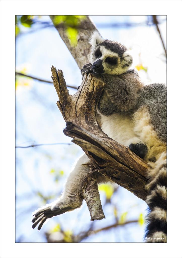 Lemur Catta-2
